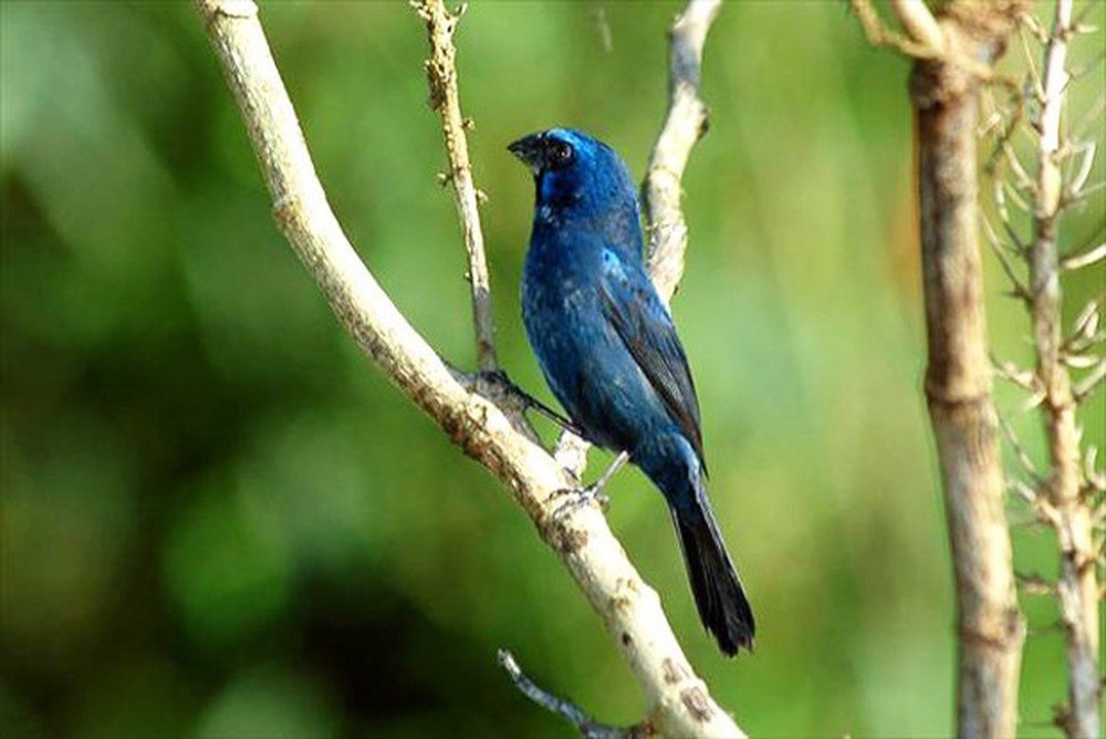 Azulão sobe no topo de aves e arbustos para cantar (Foto: Rudimar Narciso Cipriani/TG)